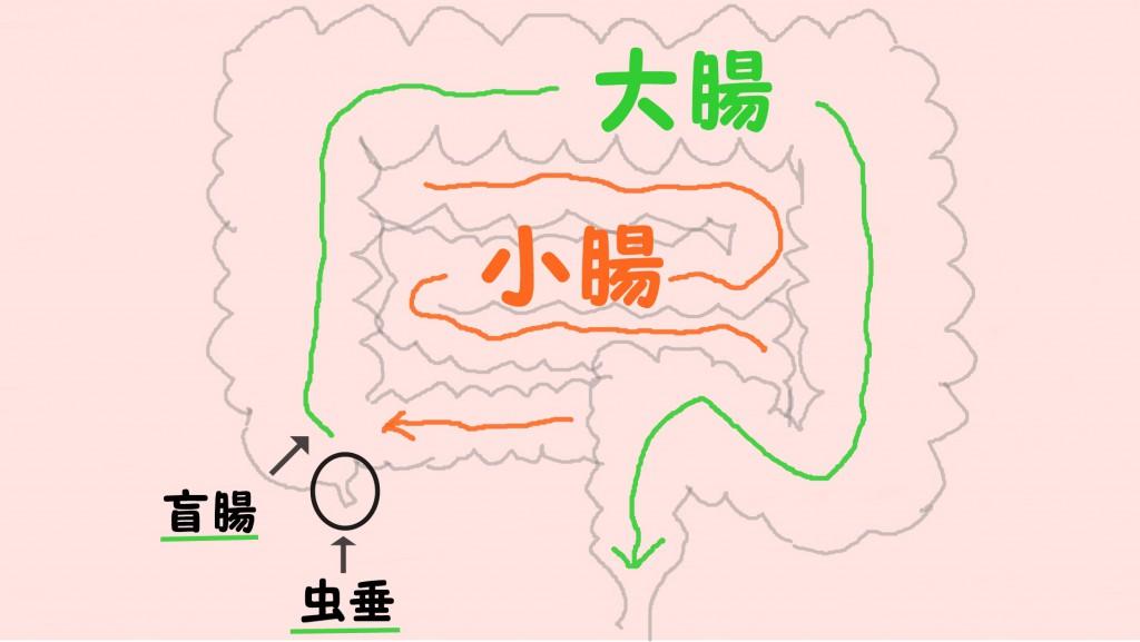 腸(小腸と大腸)
