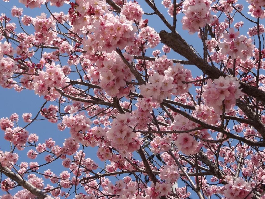 自宅の駐車場に咲いている桜(2)