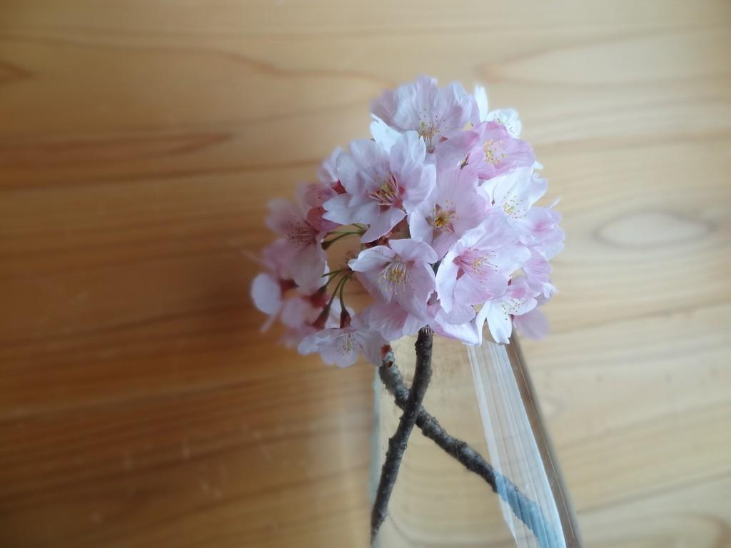 自宅の駐車場に咲いている桜(3)