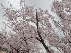 お花見に行った公園の桜(1)
