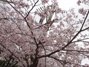 お花見に行った公園の桜(2)
