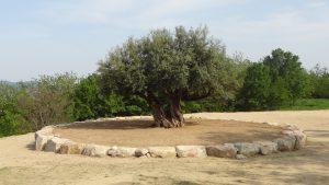 樹齢千年のオリーヴ大樹(2)