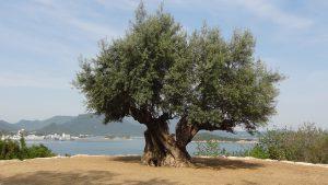 樹齢千年のオリーヴ大樹(4)