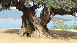 樹齢千年のオリーヴ大樹(3)