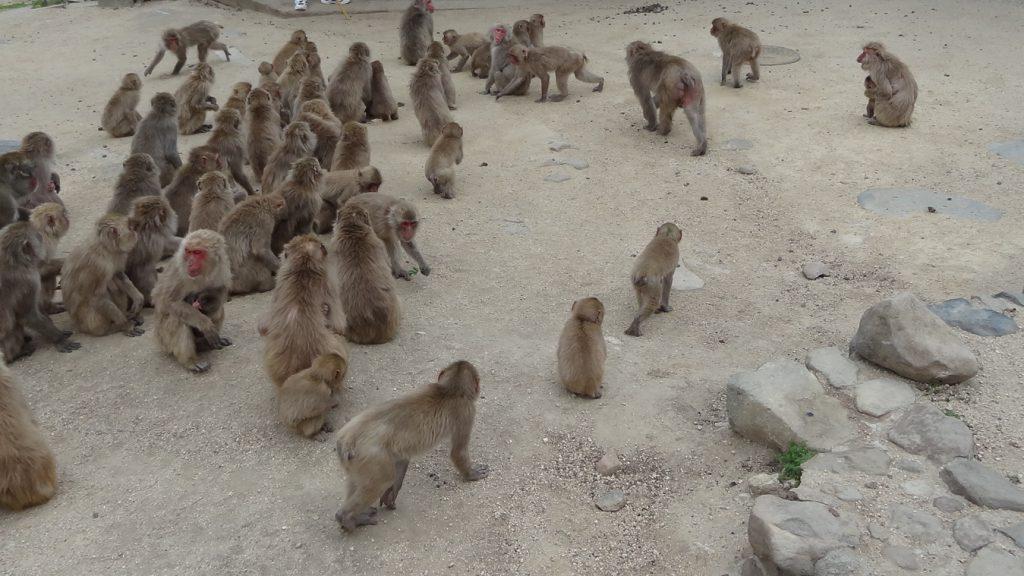 小豆島銚子渓 自然動物園 お猿の国(5)